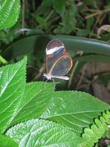 Introvert-Transparent-Butterfly